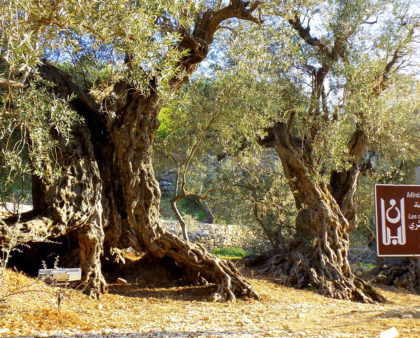 Biblical Mystery of the Olive Tree
